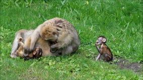 Affen Macaca sylvanus mit Baby stock footage