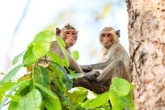 Affen (Makaken Krabbe-essend) auf Baum Lizenzfreie Stockfotos