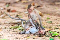 Affen (Makaken Krabbe-essend) spielend auf dem Boden Lizenzfreies Stockfoto