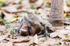 Affen (Makaken Krabbe-essend) spielend auf dem Boden Stockfoto