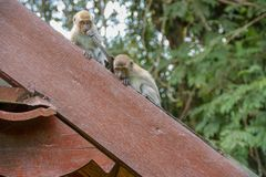 Affen, Malaysia Lizenzfreie Stockbilder