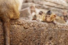 Affen mit Augen, die anstarren Lizenzfreies Stockfoto
