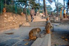 Affen nahe dem Tempel in Kathmandu, Nepal Fallhammer in Katmandu nepal Eine kleine Gruppe Affen, die Früchte im Affe-Tempel essen lizenzfreies stockbild