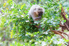 Affen in Nationalpark Kruger, Südafrika Lizenzfreie Stockfotografie