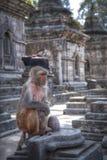 Affen in Pashupatinath Lizenzfreie Stockbilder