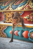 Affen in Pashupatinath Lizenzfreies Stockbild