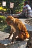 Affen in Pashupatinath Lizenzfreie Stockfotos