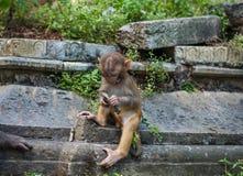 Affen in Pashupatinath-Tempel Stockfotografie