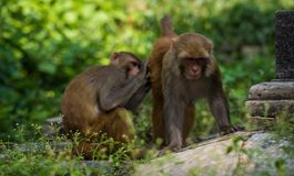 Affen in Pashupatinath-Tempel Lizenzfreie Stockbilder
