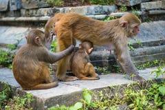Affen in Pashupatinath-Tempel Stockbild