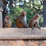 Affen an Pashupatinath-Tempel in Kathmandu, Nepal Lizenzfreies Stockfoto