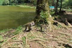 Affen in Puncak, Indonesien Stockfotos