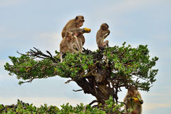 Affen sitzen auf den Niederlassungen eines Baums Stockfotografie