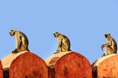 Affen sitzen auf der Wand in Jaipur Lizenzfreie Stockfotografie