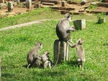 Affen in Sri Lanka Lizenzfreie Stockfotografie