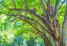 Affen Sri Lankan auf dem Baum Lizenzfreies Stockbild