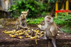 Affen in Thailand Essen der Bananen stockfotografie
