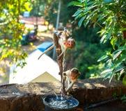 Affen trinken Wasser vom Brunnen auf Ceylon Lizenzfreie Stockfotografie