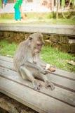 Affen in Ubud Bali Stockfoto