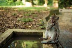 Affen in Ubud Bali Stockbilder