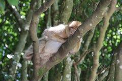 Affen von Bodensee, Jahr 2013 Lizenzfreies Stockbild
