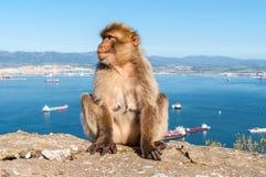 Affen von Gibraltar Stockbild