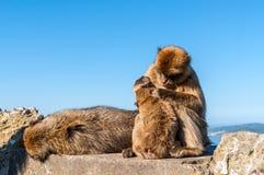Affen von Gibraltar Lizenzfreies Stockbild