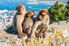 Affen von Gibraltar Stockfoto