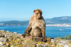 Affen von Gibraltar Lizenzfreie Stockbilder