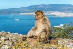 Affen von Gibraltar Stockfotografie