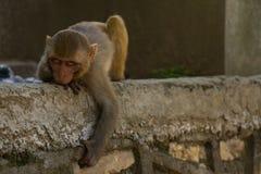 Affen von Swayambunath Stupa Kathmandu, Nepal Stockfotografie