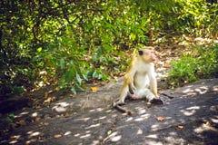 Affen zum Tempel von Dambulla Sri Lanka Stockbild