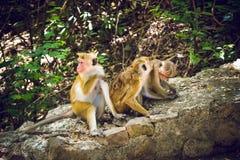 Affen zum Tempel von Dambulla Sri Lanka Lizenzfreies Stockbild