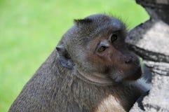 Affenahaufnahme Stockfoto