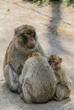 Affenfamilie Lizenzfreies Stockbild
