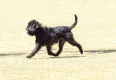 Affenpinscher dog. A small young black Affenpinscher dog with a short shaggy wire coat walking on the grass. The Affie looks like a monkey and is an active Stock Image