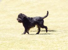 Affenpinscher dog Royalty Free Stock Image