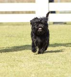 Affenpinscher dog Stock Photo