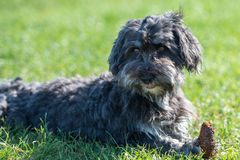 Affenpinscher on grass. Playing with cone Stock Photo