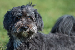 Affenpinscher portrait. On a field with green blurry background Stock Image