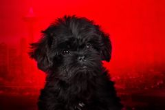 Affenpinscher puppy, portrait on a red background royalty free stock photo