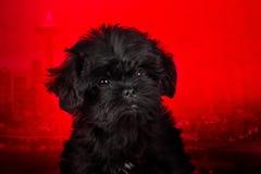 Affenpinscherpuppy, portret op een rode achtergrond royalty-vrije stock foto