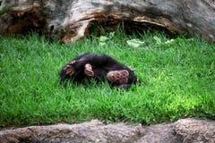 Affeschimpanse, der auf dem Gras sich entspannt Stockfoto