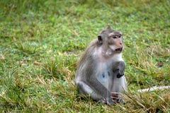 Affesitzplätze auf dem Gras in Thailand stockbilder