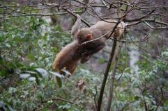 Affe, der im Baum hängt Lizenzfreie Stockfotos