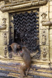 Affetempel in Kathmandu Lizenzfreie Stockfotos