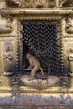 Affetempel in Kathmandu Stockbilder