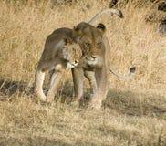 Affetto del leone Fotografie Stock