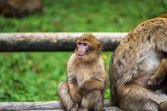 Affewald - sitzend nahe bei Mutter Stockfotos