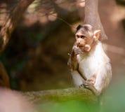 Affewaldkind Indien goa Lizenzfreie Stockfotografie